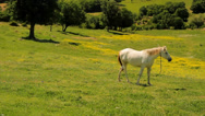 Stock Video Footage of Grazing white horse on a picturesque field
