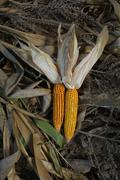 Dry Corn - stock photo