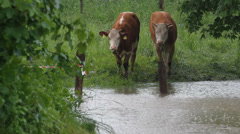 Flooded field with two cows Stock Footage