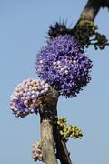 delek air tree, ironwood tree, memecylon umbellatum - stock photo