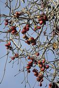 sterculia villosa - stock photo