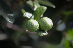 Kaffir lime, citrus hystrix Stock Photos