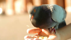Pigeons eat out of a hand in the city Stock Footage