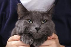 british shorthair cat pleads - stock photo