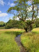 alder tree and stream - stock photo
