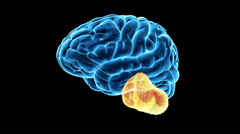 Brain cerebellum Stock Footage