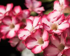 Desert rose or impala lily or mock azalea background Stock Photos
