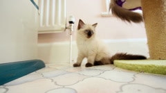 Kitten watching kittens tails Stock Footage