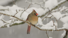 Cardinal in the snow - stock footage