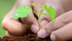 Male hand planting young plant - stock footage