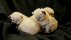 Three very young kittens 04 Stock Footage