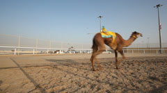 Traditional camel race in Doha, Qatar Stock Footage