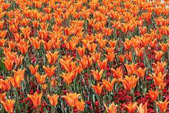 orange imperial tulip - stock photo