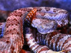 snake rattlesnake rattle pit viper angry - stock photo