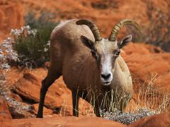 bighorn attitude - stock photo