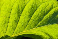 Tobacco leaf Stock Photos