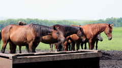 horses nod their heads in unison (saved from annoying insects). - stock footage