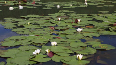 Beautiful water lily on the lake manzherok. altai krai. russia. Stock Footage