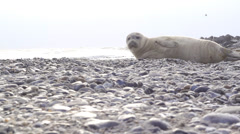 Seal Stock Footage