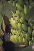 green banana, banane, musa x paradisiaca l, india - stock photo