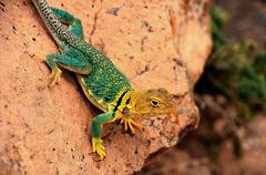 lizard colored desert nature animal reptile - stock photo