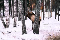 Red deer in the winter Stock Photos