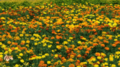 Patula French Marigold Flowers  Stock Footage