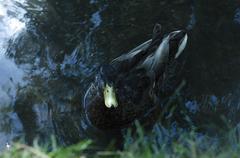 A mallard duck in water Stock Photos