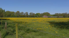 Dutch farmhouse behind yellow dandelion pasture Stock Footage