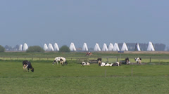 Dutch cattle in pasture with sailships sailing Lake of Sloten (Slotermeer) Stock Footage