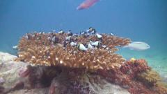 Table coral in tropical water Stock Footage