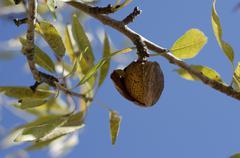 Almond ready to pick - stock photo