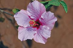 Hibiscus rosa-sinensis, light pink china rose, chinese hibiscus Stock Photos