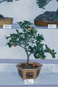 Stock Photo of bonsai plant of orange fruits, sour orange