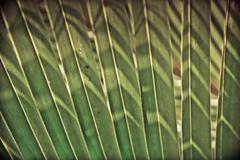 Stock Photo of coconut leaf backside light in the morning