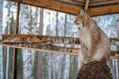 Stock Photo of Lynx seating on a tree in cage