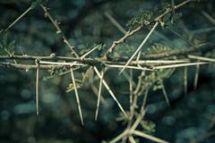 thorns of acacia nilotica - stock photo