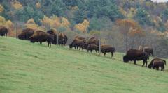 Herd of cattle grazing (9 of 9) Stock Footage