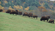 Stock Video Footage of Herd of cattle grazing (9 of 9)