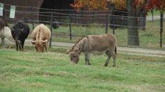 Herd of cattle grazing (7 of 9) Stock Footage