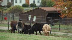 Herd of cattle grazing (4 of 9) Stock Footage