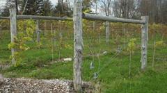 Fresh vineyard growing (8 of 9) Stock Footage