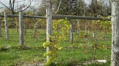 Fresh vineyard growing (1 of 9) Stock Footage