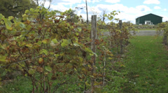 Fresh vineyard growing (2 of 9) Stock Footage