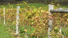 Fresh vineyard growing (5 of 9) Stock Footage