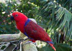 colourful red and blue  parrot  on the perch - stock photo
