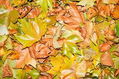 Fallen autumn leafs for background Stock Photos