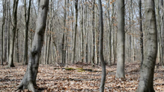 Beech forest in spring - stock footage