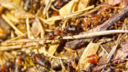 Stock Video Footage of ants in an anthill