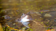 Frog in pond Stock Footage